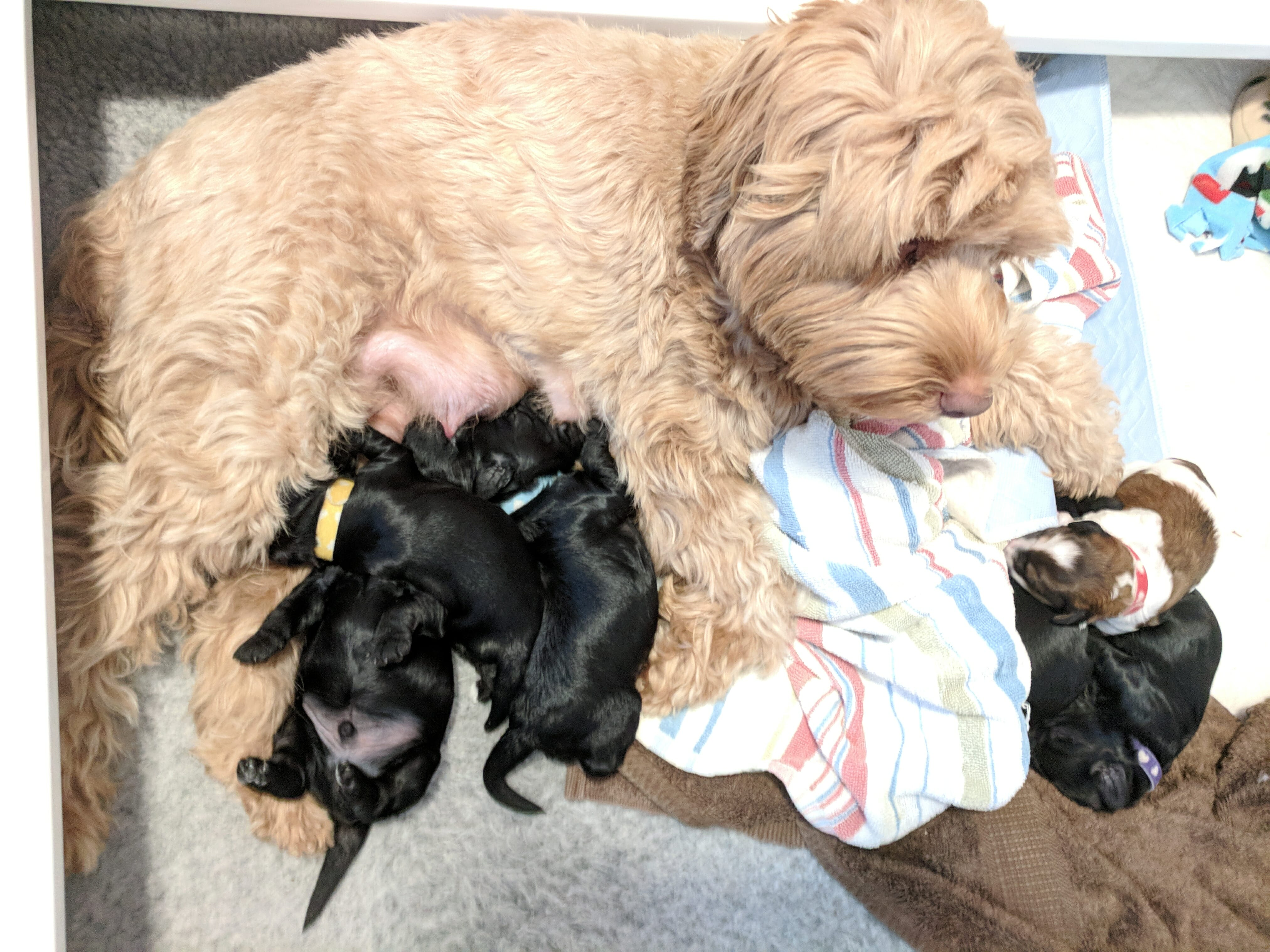Pippa, labradoodle Mom with her puppies suckling at 2 weeks old