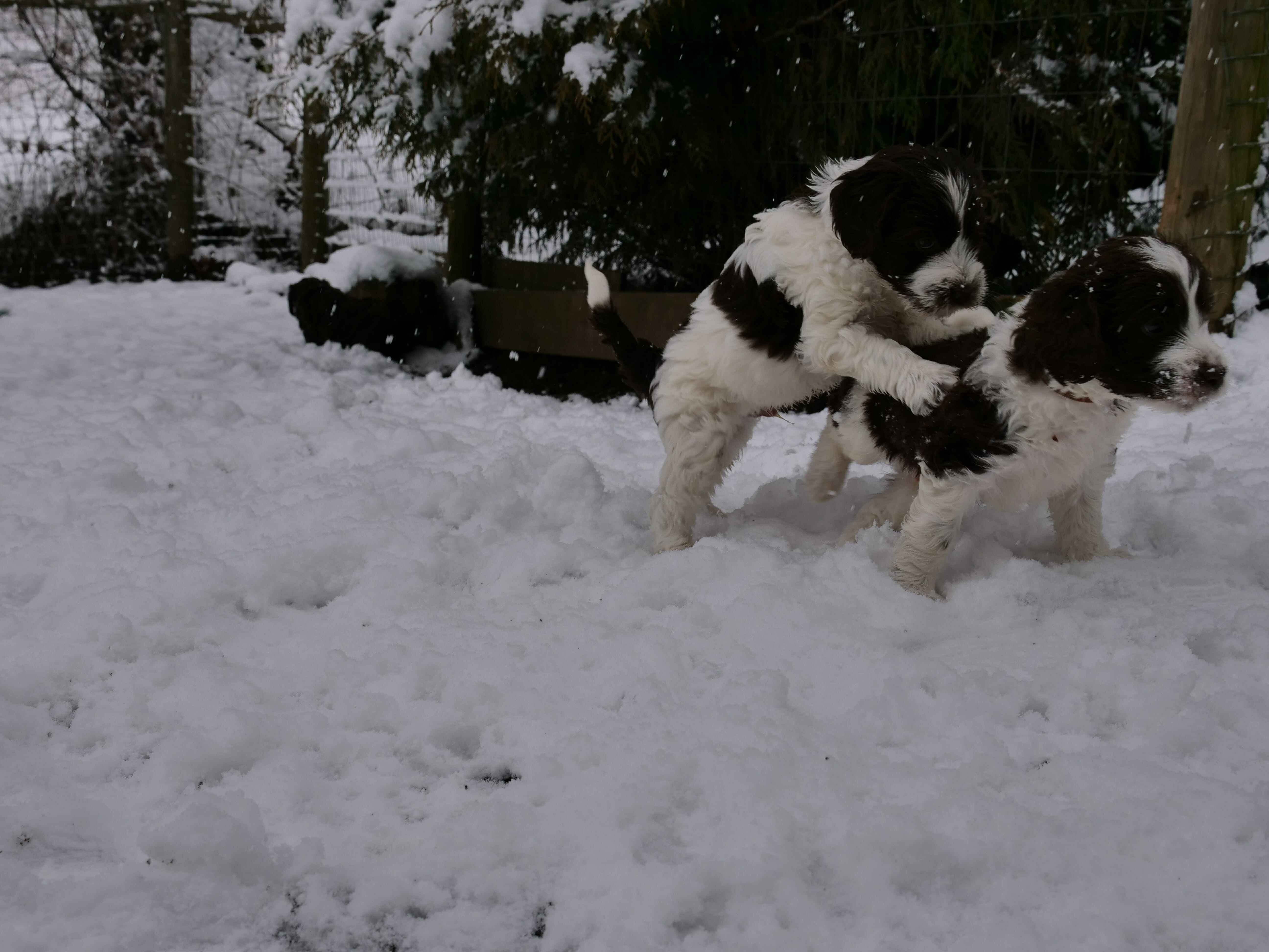 Two 5-week old black and white labradoodle puppies playing in the snow. One puppy is jumping on the back of the other.