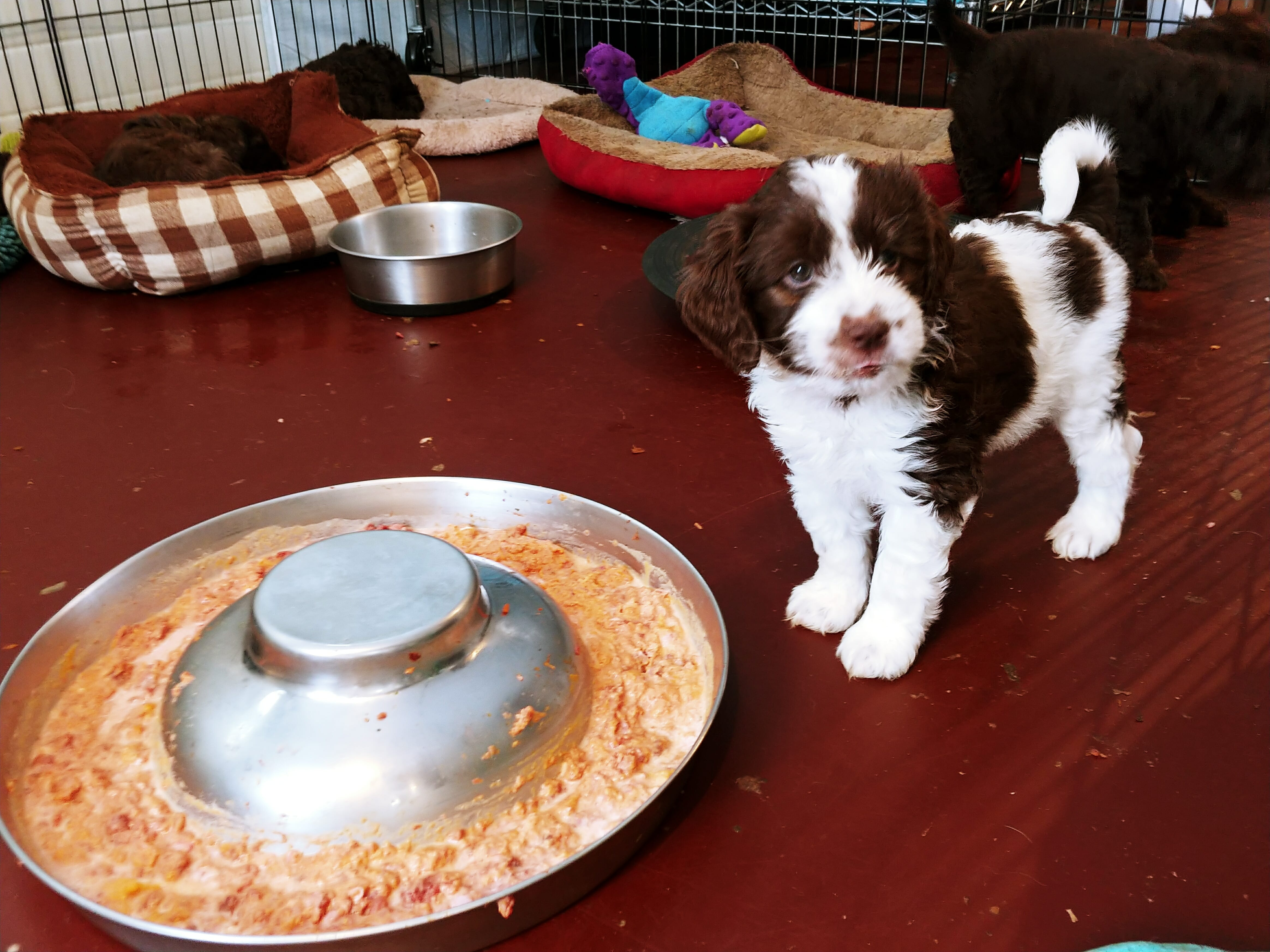 6-week old dark chocolate and white puppy standing next to a pan of orange soft food. In the background are various dog beds. The puppy is looking just to the right of the camera.